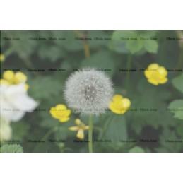 Dandelion Digital background