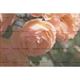 Garden Rose Digital Background